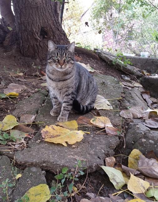 pisica-gri