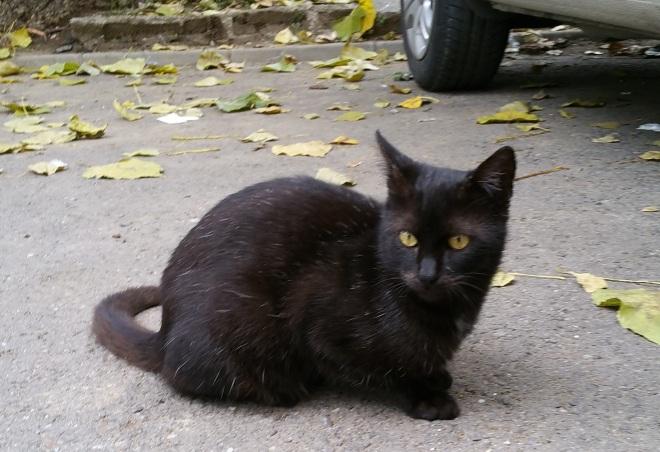 pisica-grizonata