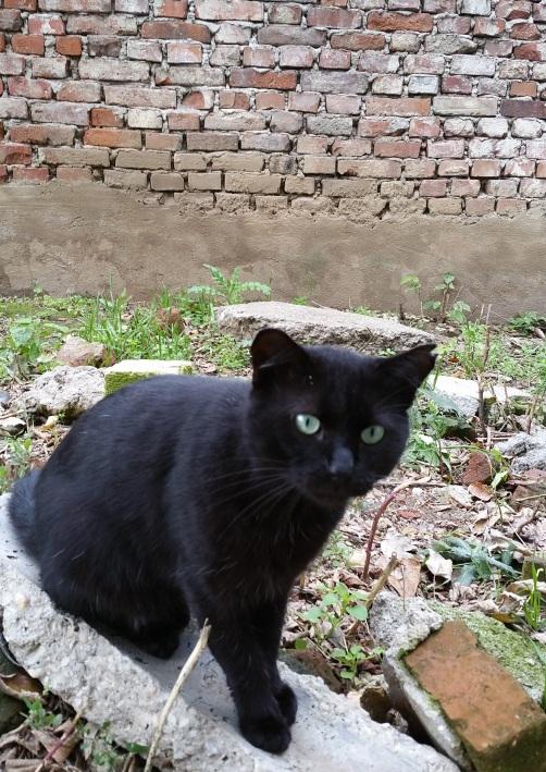 pisica-neagra-2